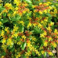 Цветы Седум Карамель Камчатский
