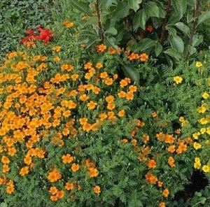 Цветы Бархатцы Огненные Звездочки