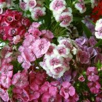 Цветы Гвоздика смесь Шабо