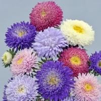 Цветы астра смесь Шанхайская роза