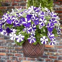 Цветы Петуния ампельная Синяя Звезда F1