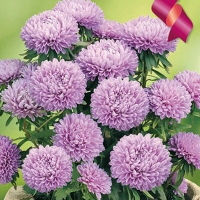 Цветы Астра Хризантелла Сиреневый Восторг