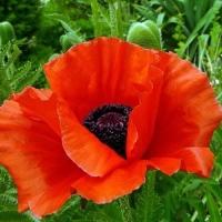 Цветы Мак Скарлет красный