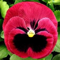 Цветы Виола Скарлет