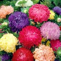 Цветы Астра смесь Дюшес