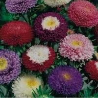 Цветы астра смесь Магдалена
