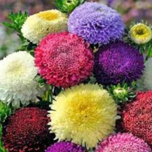 Цветы Астра смесь Помпонная