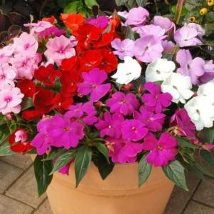 Цветы бальзамин смесь Семь Гномов низкий