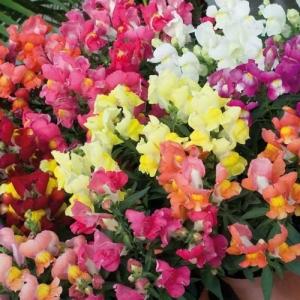 Цветы Львиный зев Снеппи F1 смесь