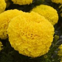 Цветы Бархатцы Сок Ананаса