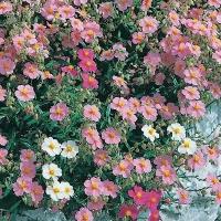 Цветы Солнцесвет Горная Роза