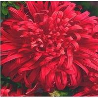 Цветы Астра Страусиное перо красное