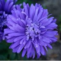 Цветы Астра Страусиное перо лазурно-синее