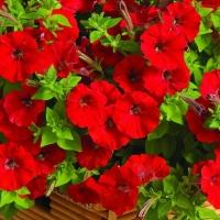 Цветы Петуния Суперкаскад F1 Красная