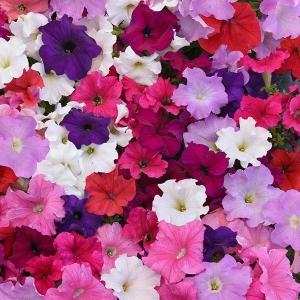 Цветы Петуния грандифлора  Суперкаскад F1