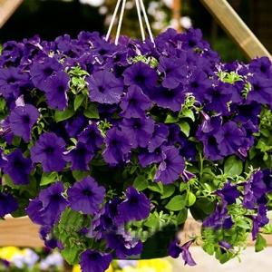 Цветы Петуния Суперкаскад F1 Синяя