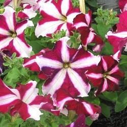 Цветы Петуния Танго F1 Бургундская звезда