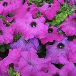 Цветы Петуния Танго F1 Фиолетовая