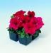 Цветы Петуния Танго F1 Красная