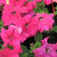 Цветы Петуния Танго F1 Розовая