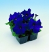 Цветы Петуния Танго F1 Синяя