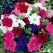 Цветы Петуния Танго F1 смесь