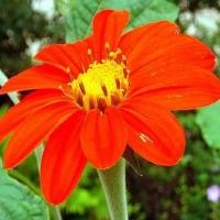 Цветы Титония Факел