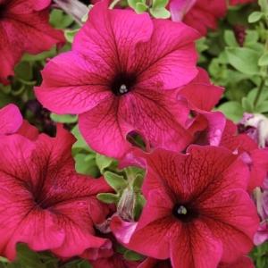 Цветы Петуния Тоуга F1