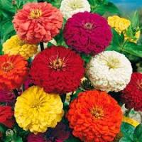 Цветы Циния смесь Пепито
