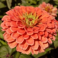 Цветы Циния Саламон