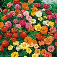 Цветы Циния смесь Карликовая махровая