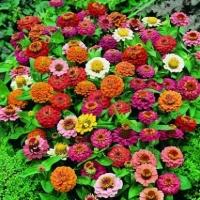 Цветы Циния смесь Тумберлина