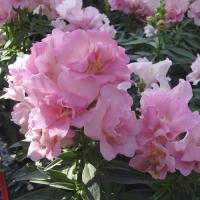 Цветы Львиный зев Твинни F1  Розовый