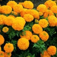 Цветы Бархатцы Валенсия
