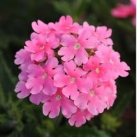 Цветы Вербена Кварц XP F1 Розовая