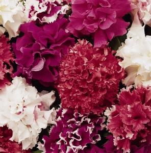 Цветы Петуния Чудесная Смесь F1