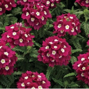 Цветы Вербена Кварц XP F1 Бургунди с глазком