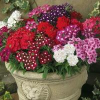 Цветы смесь низкорослая Вербена