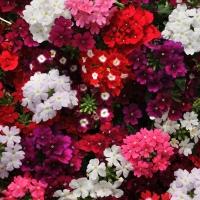 Цветы крупноцветковая Вербена