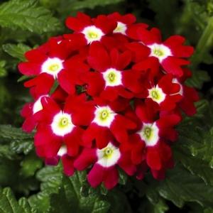 Цветы Вербена Кварц XP F1 Красная с глазком