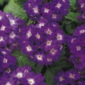 Цветы Вербена Кварц F1 Синяя