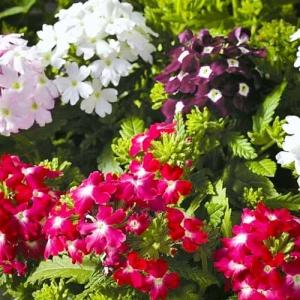 Цветы Вербена Кварц XP F1 смесь