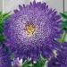 Цветы Астра Вероника