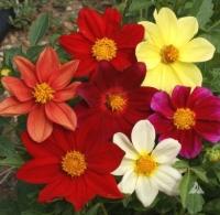 Цветы Георгины смесь Веселые Ребята