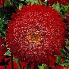 Цветы Астра Винная ягода