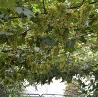Набор для защиты винограда в начальную стадию вегетации от болезней и клеща