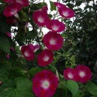 Цветы Ипомея Вишневая Шаль