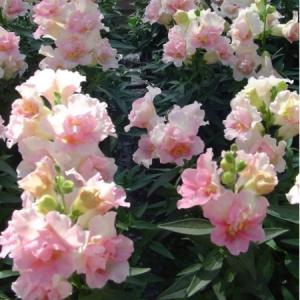 Цветы Львиный зев Твинни F1 Яблочное цветение