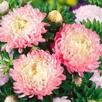Цветы Астра Яблунева