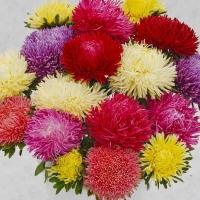 Цветы Астра смесь Ювель